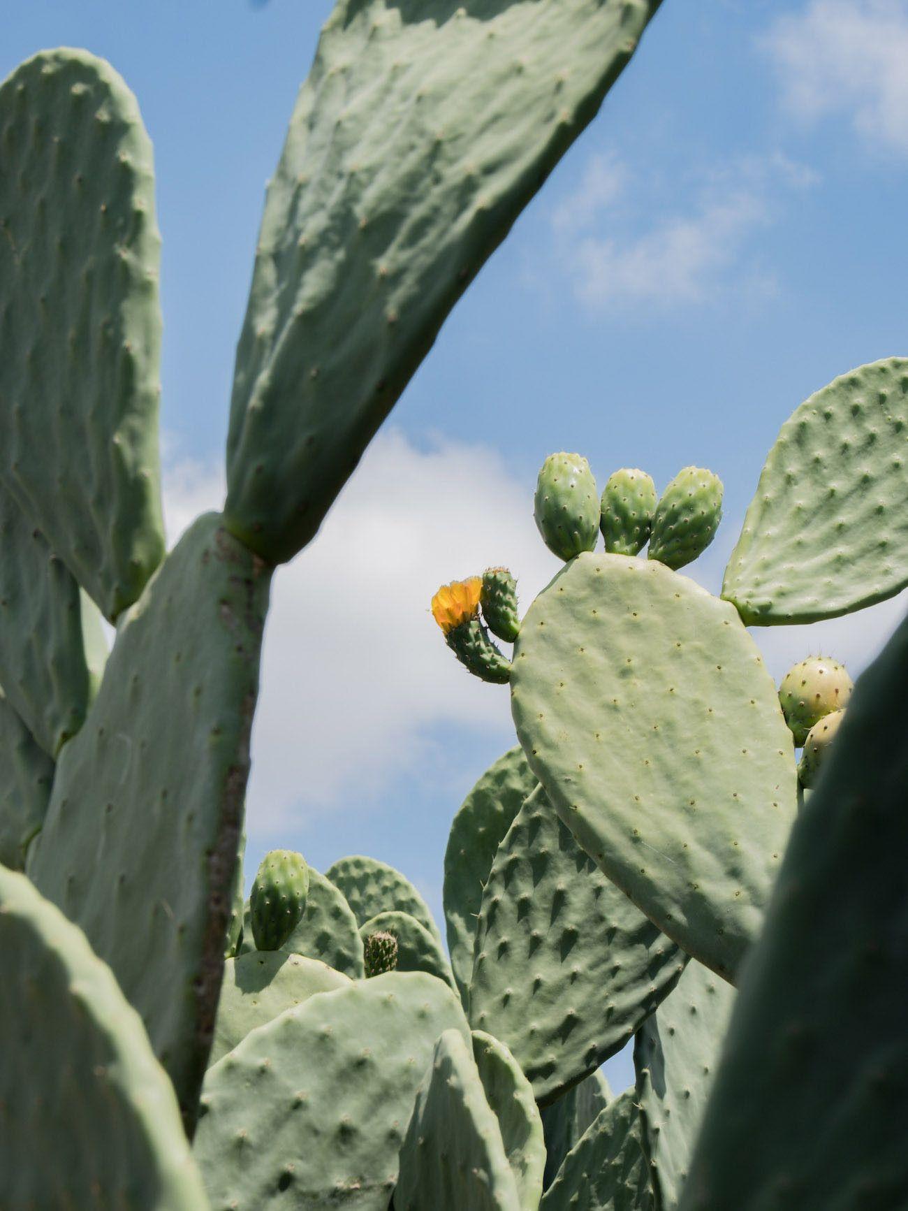 Weinguide Stellenbosch, Babylonstoren, Kaktus, Garten