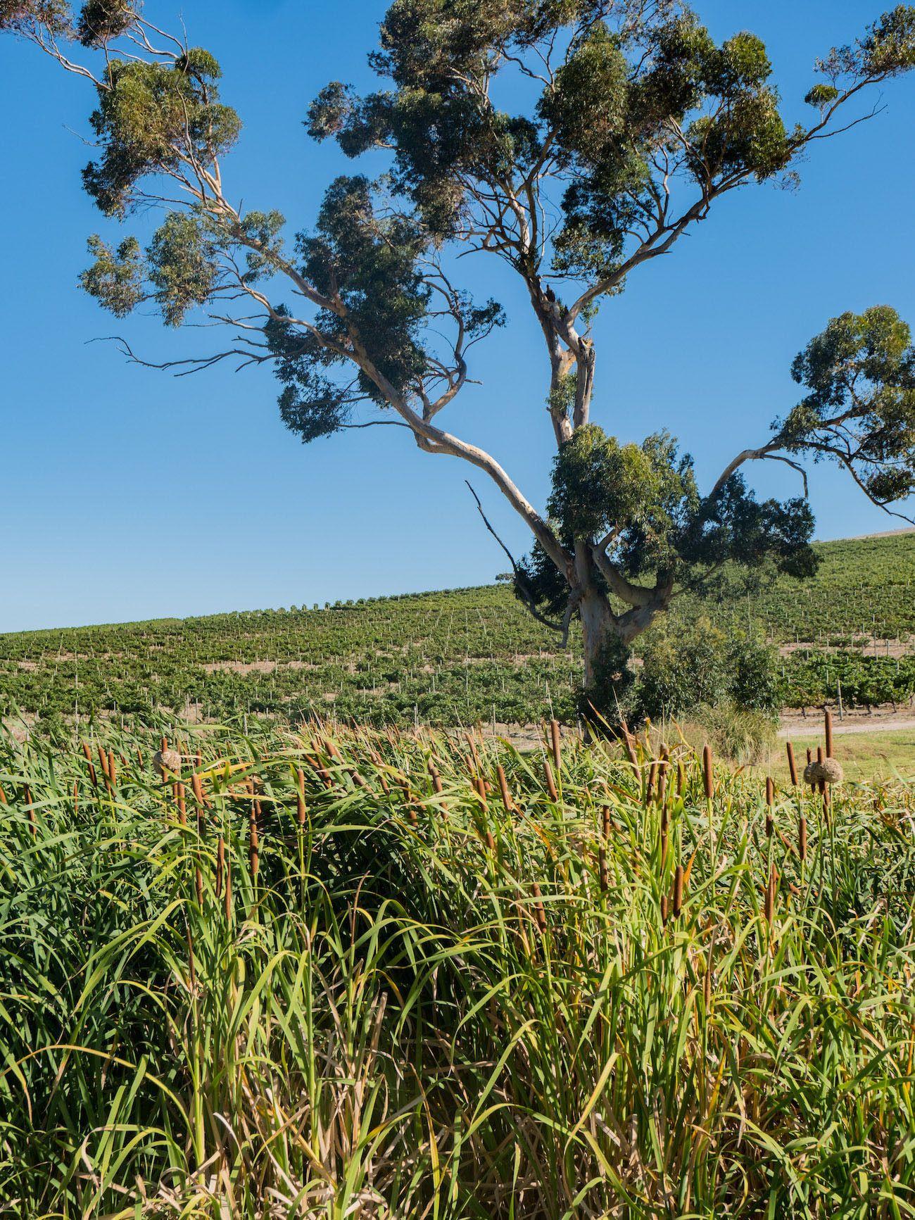 Weinguide Stellenbosch, Jordans, Baum